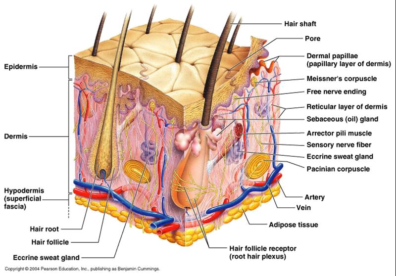 a6fa463281ca0 Cilt, 3-3,5 kg ağırlığıyla vücudun en ağır, 1,5-2 m2 alanıyla en geniş  organıdır. %70'i su, %30 u organik materyalden oluşur. Cilt pH ının normal  değeri 5 ...